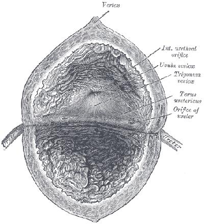 Pęcherz moczowy